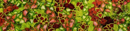 Coleus Colors